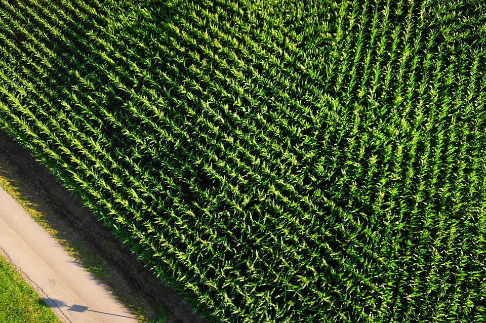 Monoculture Arable Aerial View Cornfield
