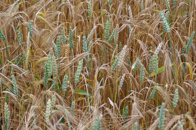 Mixed cropping of barley (Hordeum vulgare) and wheat (Triticum aestivum)