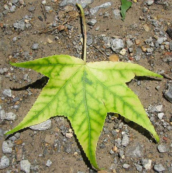 A sweetgum (Liquidambar styraciflua) leaf showing the signs of interveinal chlorosis.