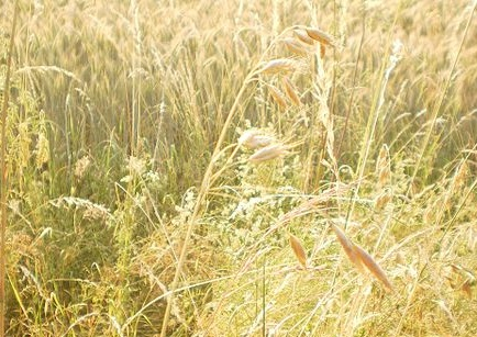 Oat panicle (Avena), edge of cereal field in summer sunshine