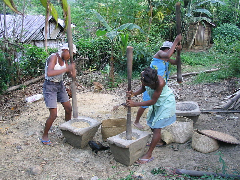 Malagasy pounding rice in giant wooden mortar to dehull it