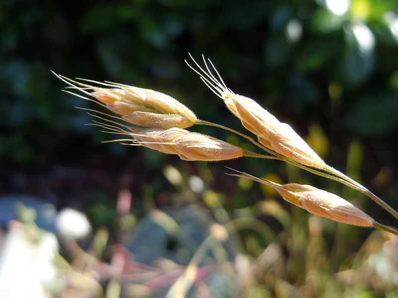 The short erect pedicels render a contracted panicle or raceme (Bromus