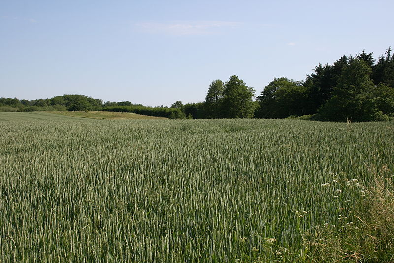 Monoculture wheat-fields and hedges