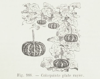 Coloquinte plate rayée