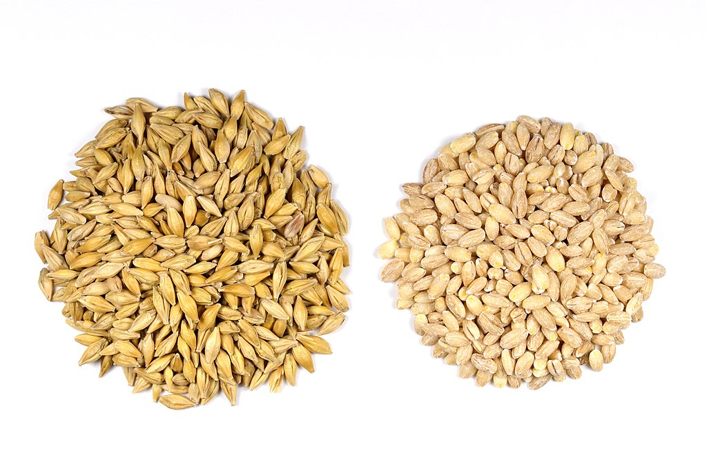 Barley seeds with husk (left) and with husk removed (right)