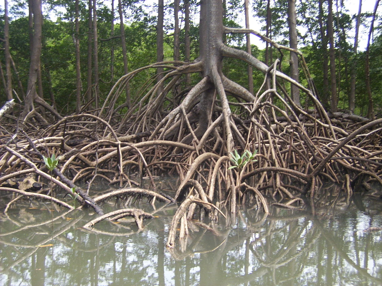 Stilt roots of a Rhizophora mangrove tree captured on a small river