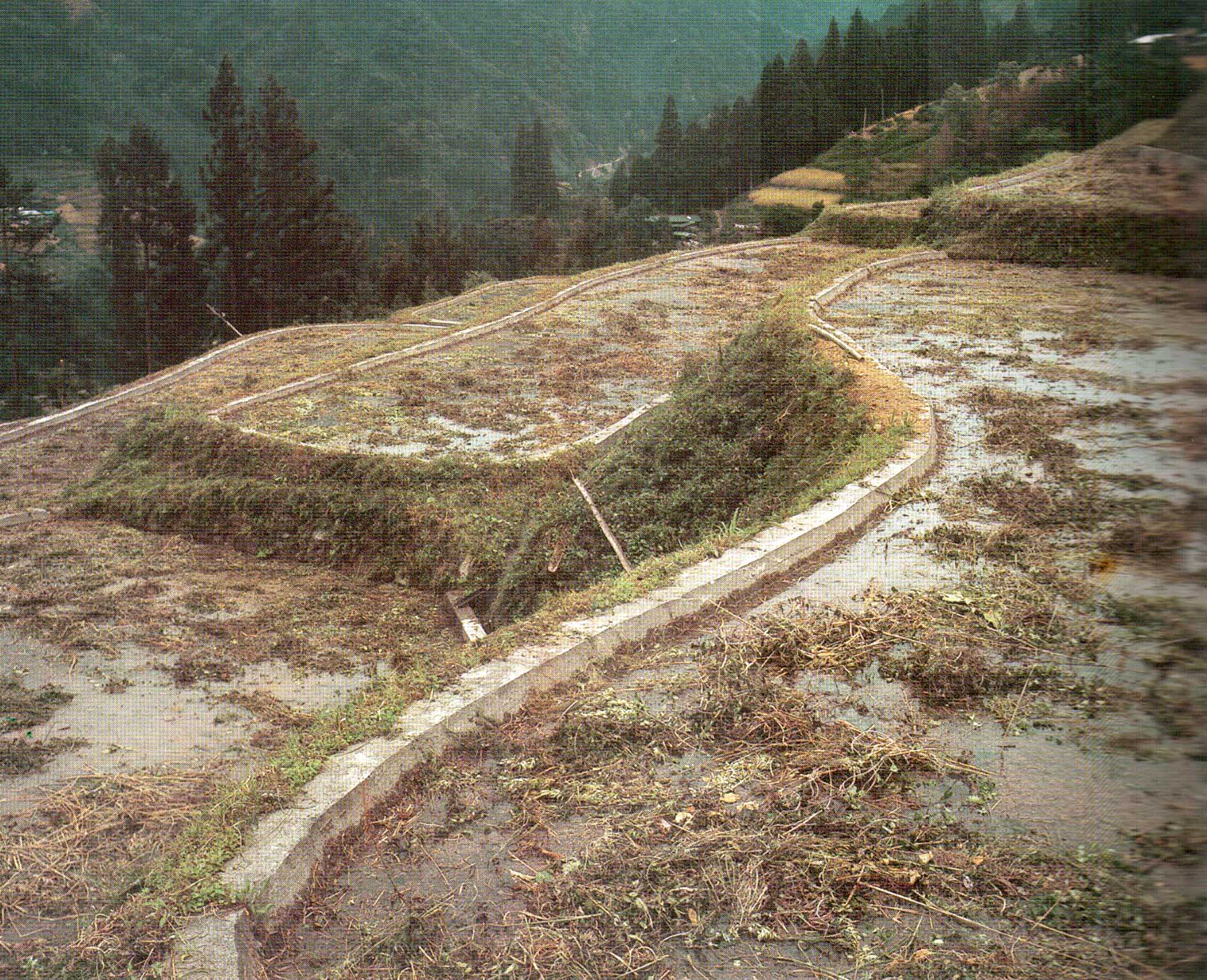 Green manure in terraced rice fields